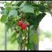 Obst und Gemüse auf dem Balkon pflanzen