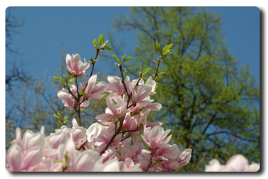 duesseldorf-magnolie